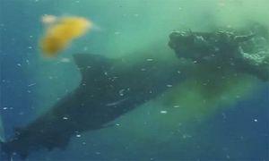 Cá mập hổ dài 5 m xé xác bò giữa biển
