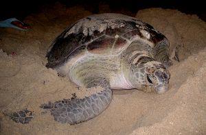 Rùa quý hiếm bò lên bãi biển Quy Nhơn đẻ trứng