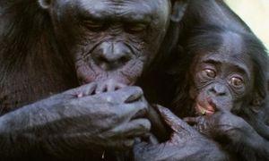 Tinh tinh mẹ ăn xác con trong rừng Congo