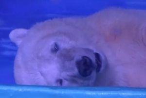 Chú gấu Bắc cực 'buồn nhất thế giới' tại Trung Quốc