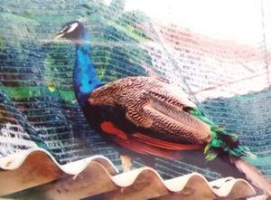 Công an Vĩnh Long xác nhận vụ mất chim công tại chùa
