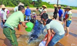 Xem ngư dân Trung Quốc hợp sức giải cứu cá voi mắc cạn
