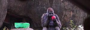 Chuyện thú vị về chú khỉ sống thọ nhất trên thế giới