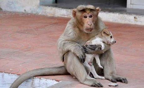 """Cảm động chuyện khỉ nh�n chó con bị bỏ rơi làm """"con nuôi"""""""