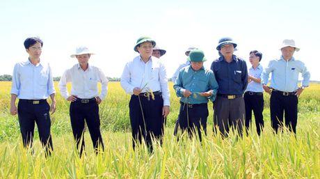 Ông Hà Sỹ Đồng – Phó Chủ tịch UBND tỉnh Quảng Trị (thứ 3 từ trái sang) thăm cánh đồng mẫu lớn trên địa bàn huyện Hải Lăng nhằm tìm giải pháp mở rộng. Ảnh: NGỌC VŨ