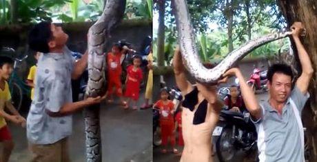 """Bắt được """"trăn thần"""" tại Nghệ An: Dài 5m, nặng 37kg"""