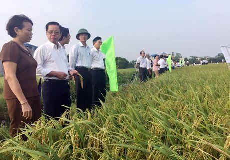 TBR 225 - giong lua nang cao thuong hieu gao Viet - Anh 1
