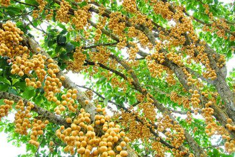 Qua ngot xu Tien (Quang Nam) - Anh 1