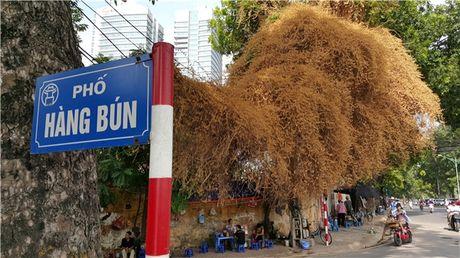 Tam su buon ve cay hoa giay dot ngot chuyen mau vang o Ha Noi - Anh 1