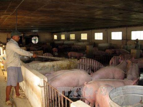 Chăn nuôi gia trại - nói không với chất cấm