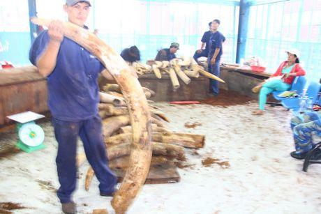 Cận cảnh lô hàng hơn 2 tấn ngà voi nhập lậu bị bắt giữ tại cảng Cát Lái