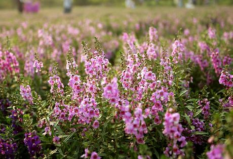 Thao nguyen hoa tuyet dep de chup anh cuoi giua Ha Noi - Anh 8