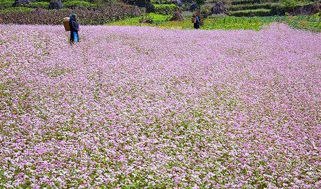 Tin moi le hoi hoa tam giac mach tinh Ha Giang 2016 - Anh 1
