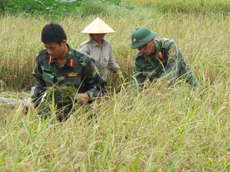 Hai Phong: Hang nghin chien si giup dan thu hoach lua mua chay bao - Anh 1