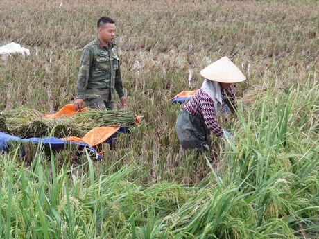 Hai Phong: Hang nghin chien si giup dan thu hoach lua mua chay bao - Anh 7
