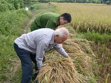 Chu tich Hai Phong xuong ruong gat lua - Anh 4