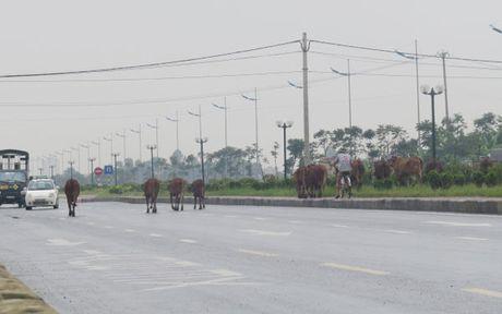 Nguy hiểm khi thả bò trên đường 5 kéo dài