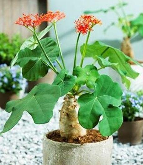 Cây ngô đồng là cây gì và vì sao ăn trái cây ngô đồng lại bị nhiêm độc